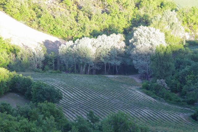 Champ de lavande depuis Les Hautes Courennes, 558 m (Saint-Martin-de-Castillon, Vaucluse), 10 mai 2014. Photo : J.-M. Gayman