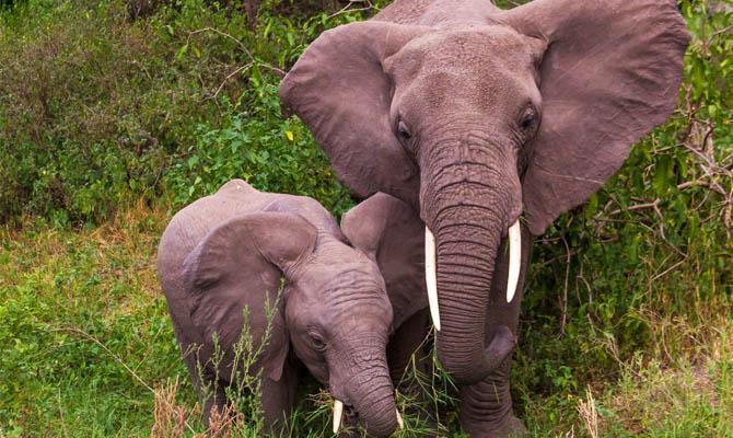 Как слон слышит, Уши, Ноги - Интересные факты о слонах