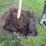 Flyttning träd mm Brf Violen Nov 2013 011.jpg