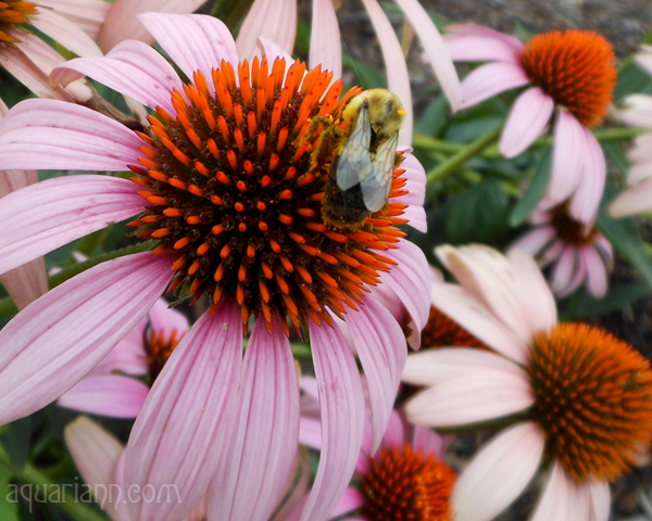 Coneflower Bee Macro Photo By Aquariann