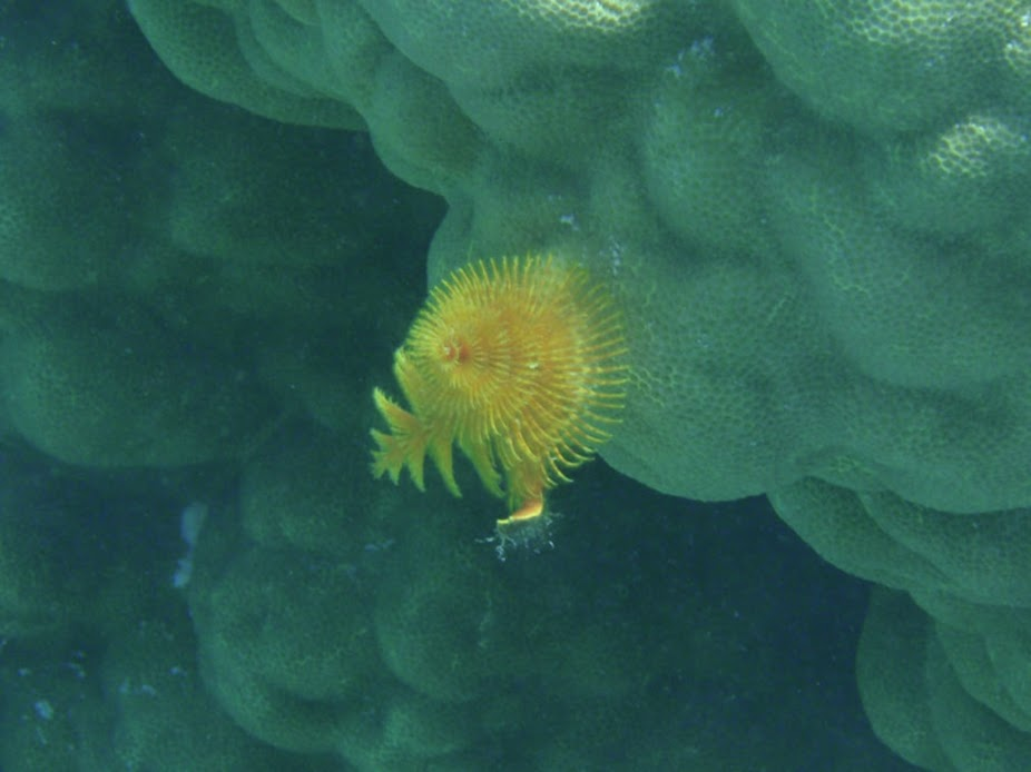 Christmas Tree Worm, Aitutaki