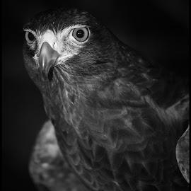 Harris Hawk by Dave Lipchen - Black & White Animals ( harris hawk )