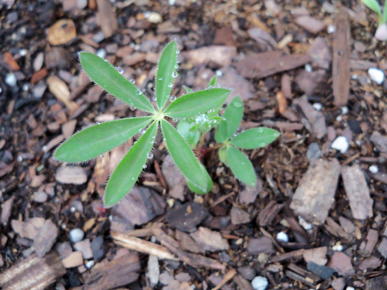 Gardening 2010 - 101_1165.JPG
