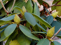 The Buds of the Rhododendron Waiting for Spring to Burst Open