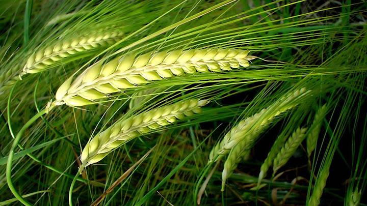 Bông lúa trĩu hạt (29.01.2021 – Thứ Sáu Tuần 3 TN)