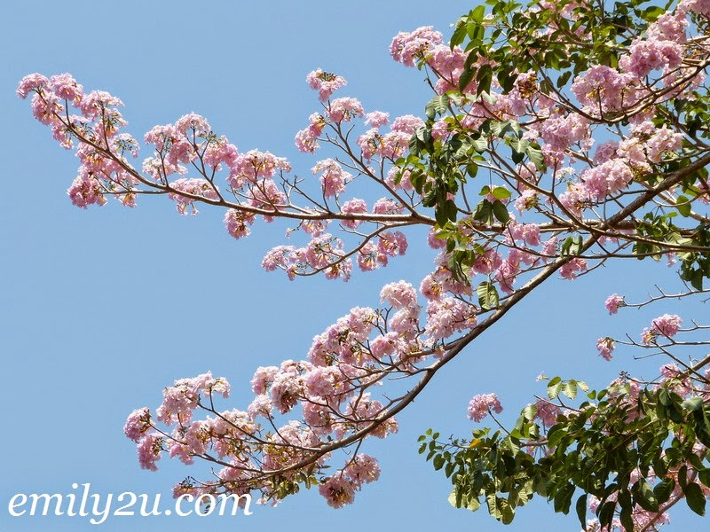 Sakura cherry blossoms tecoma