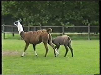 2001.08.26-023 lamas