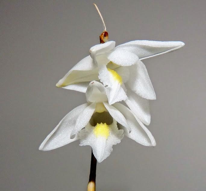 Dendrobium crumenatum P1430015