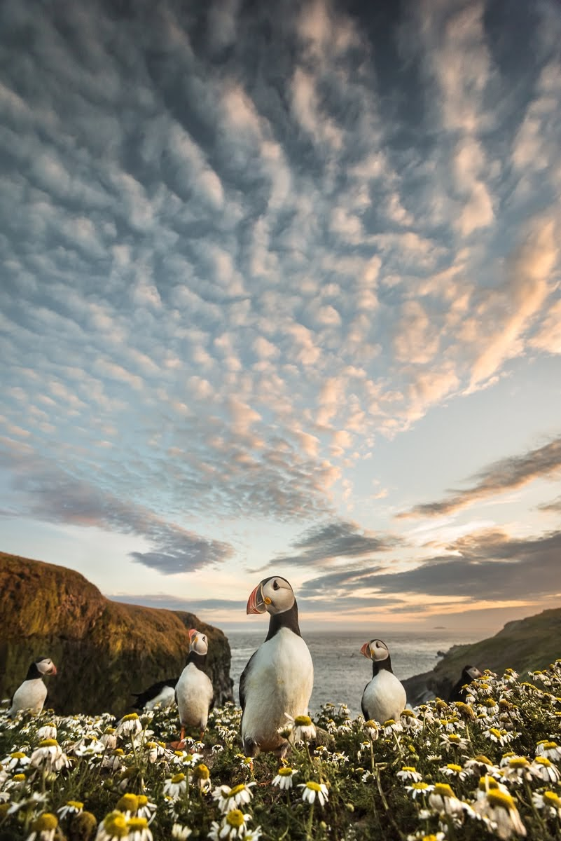 Puffins on the Wick at Skomer, shot low and wide with a beautiful sunset sky overhead.