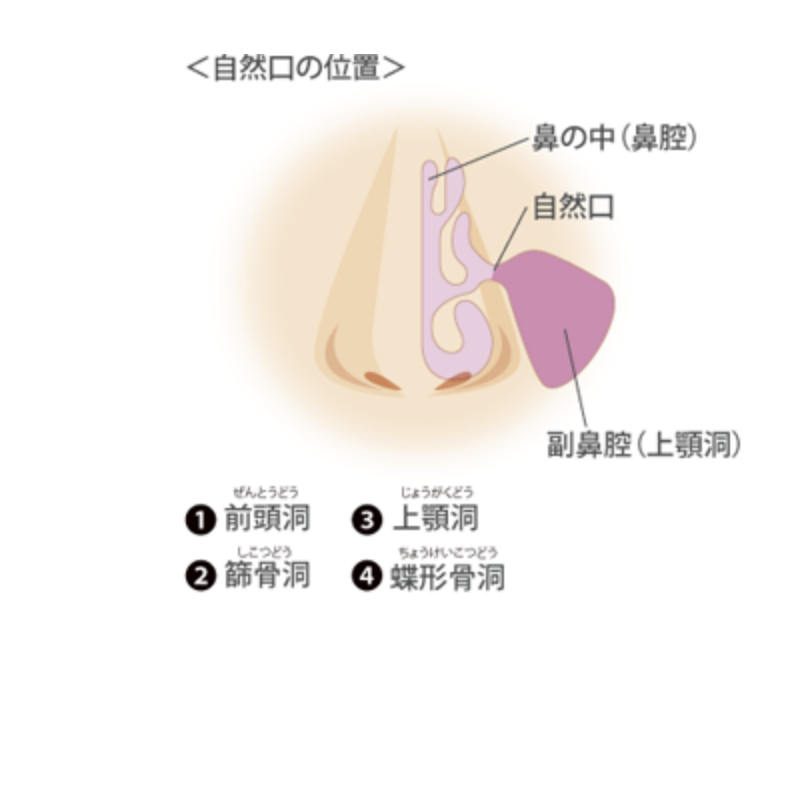 鼻の解剖図。鼻腔・副鼻腔・前頭洞・篩骨洞・上顎洞・蝶形骨洞が図になっている。
