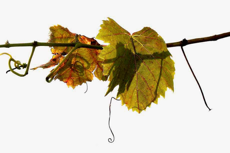 2. Grapevine Leaves