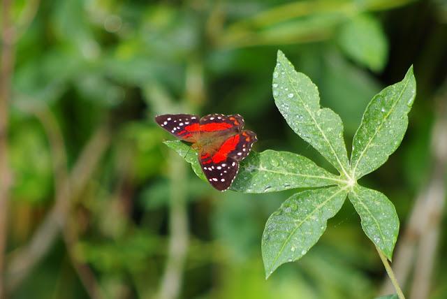 Anartia amathea amathea (LINNAEUS, 1758). Saut Athanase, 7 novembre 2012. Photo : J.-M. Gayman