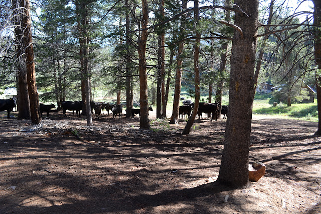 cows under the trees