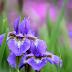 Hoa diên vĩ tiếng Anh là gì?