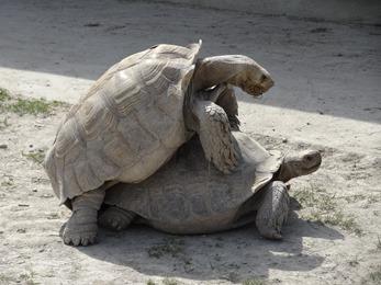 2017.08.07-048 tortues sillonnées en rut