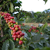 INDICADORES: Preço do boi gordo e café volta a cair nesta quinta-feira (10)