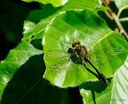 Grøn smagradlibel, Lorup Skov 2-6