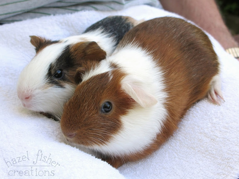 Lily and Rosie guinea pigs 1 5 August 2015