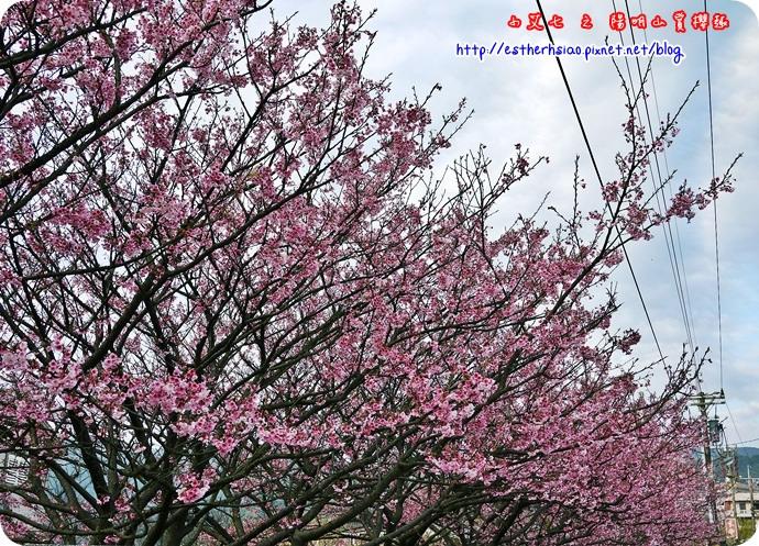 60 平菁街42巷櫻花樹