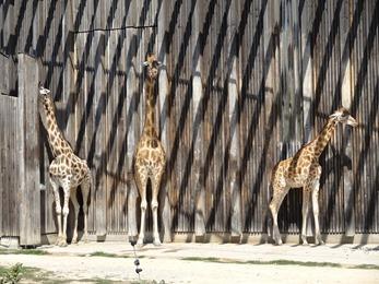 2018.08.21-007 girafes
