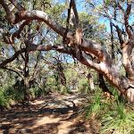 Angophora lanceolata Sydney Red Gum (221126)