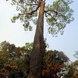 L'arbre Bertholletia excelsa (Lecythidaceae), producteur de noix brésilienne, entre Itauba et Marcelândia (Mato Grosso, Brésil), 6 septembre 2010. Photo : Cidinha Rissi