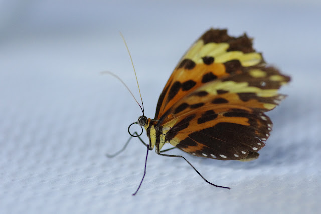 Melinaea mneme mneme (LINNAEUS, 1763). Patawa (Montagne de Kaw), 26 octobre 2012. Photo : J.-M. Gayman