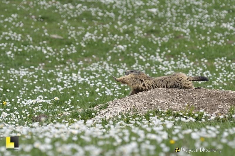 marmotte vercors
