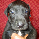 Available black boy at 4 1/2 weeks