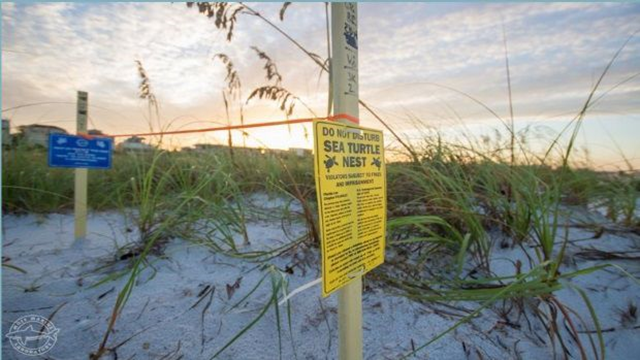 A sign reads, 'Do not disturb sea turtle nests' on beach in Nokomis, Florida. Photo: Conor Goulding / Mote Marine Laboratory