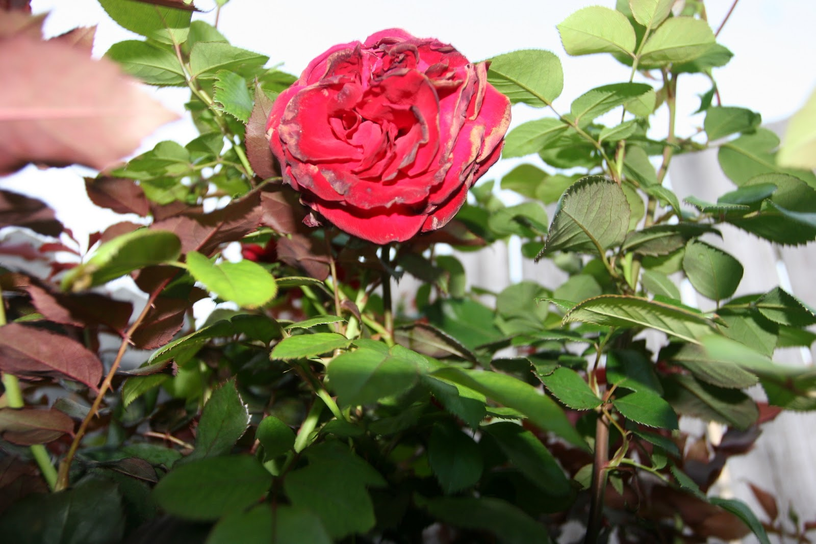Gardening 2012 - IMG_2760.JPG