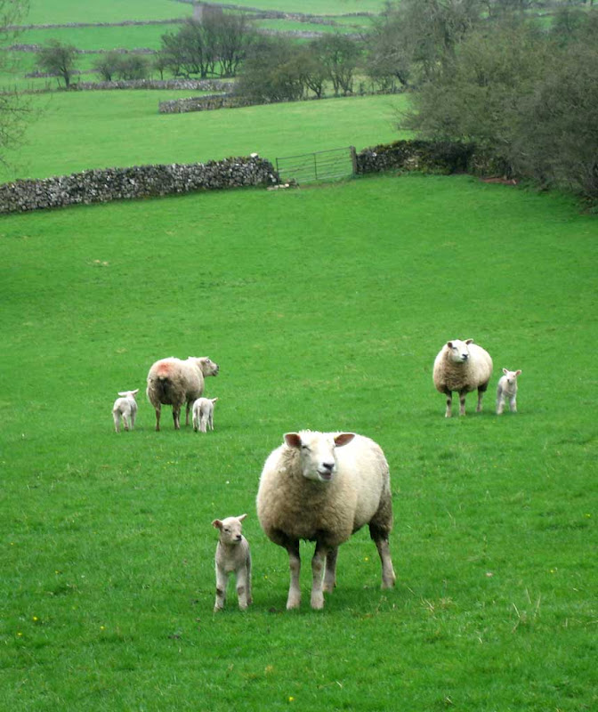 LB-Spring-Lambs-Grindon
