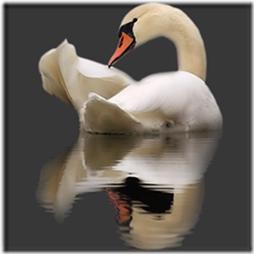cisnes-buscoimagenes-9_thumb