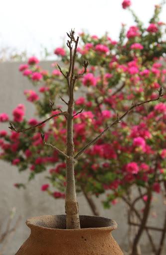 Adansonia digitata - baobab africain IMG_1021
