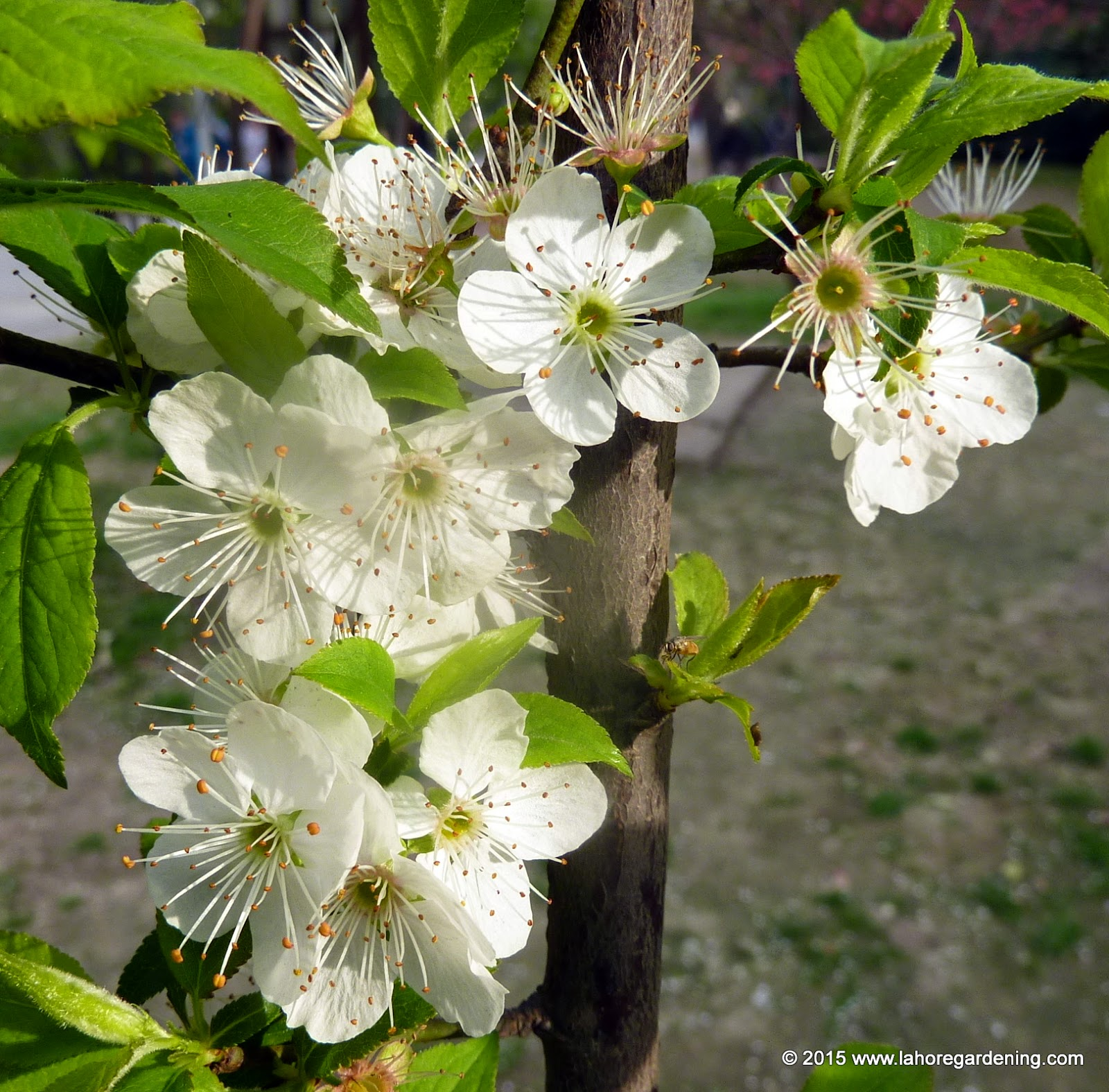 Prunus flower