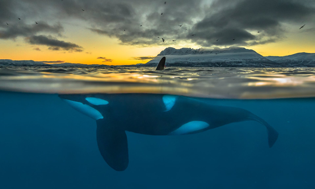 Split-view of a killer whale at sunrise off the coast of northern Norway. Photo: Audun Rikardsen / Science