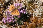 Klitperlemorsommerfugl - Fanø.3.jpg