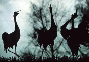 Eurasian cranes. The International Crane Foundation