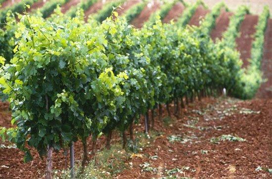 viticultura integrada