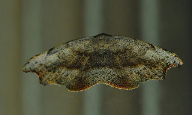 Probablement : Probably : Noctuidae : Acontiinae : Sophta poecilota TURNER, 1908. Umina Beach (N. S. W., Australie), 9 janvier 2012. Photo : Barbara Kedzierski