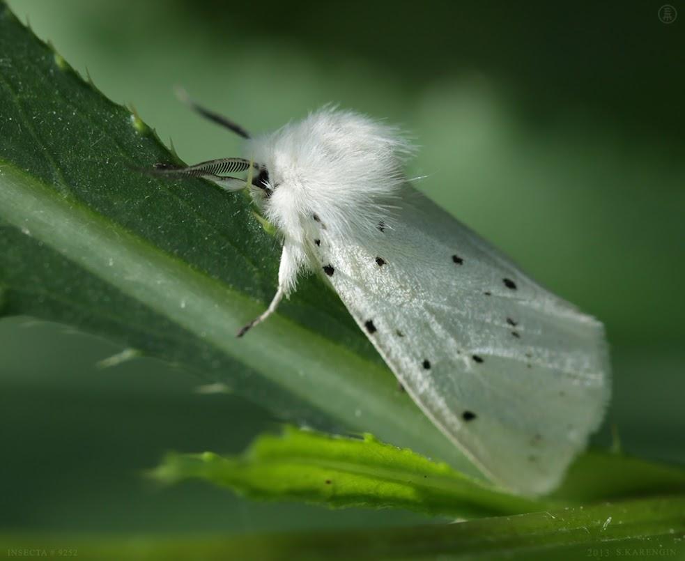 макросъемка, бабочка, butterfly, macro photography, фото, hyphantria cunea,