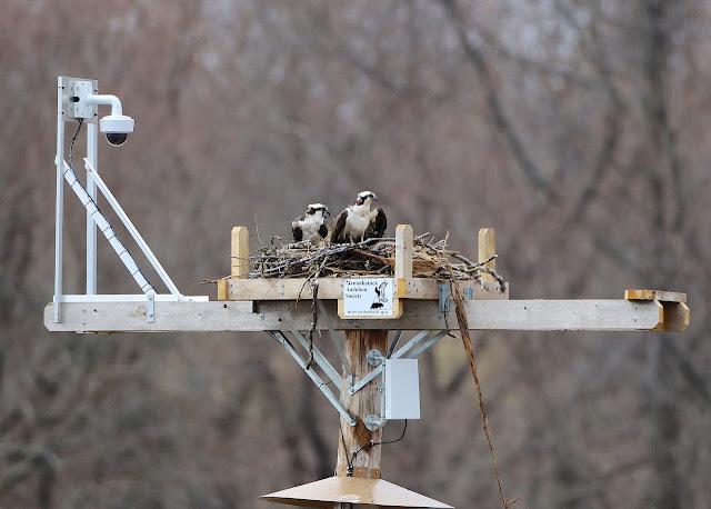 Osprey Cam