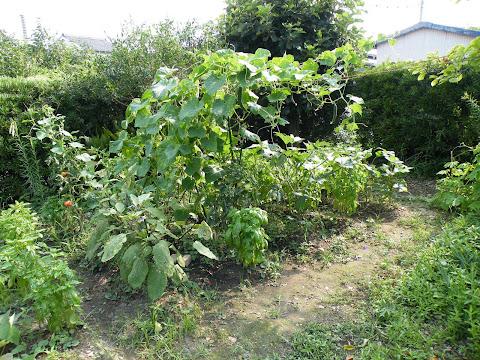 2010年8月1日の家庭菜園の様子