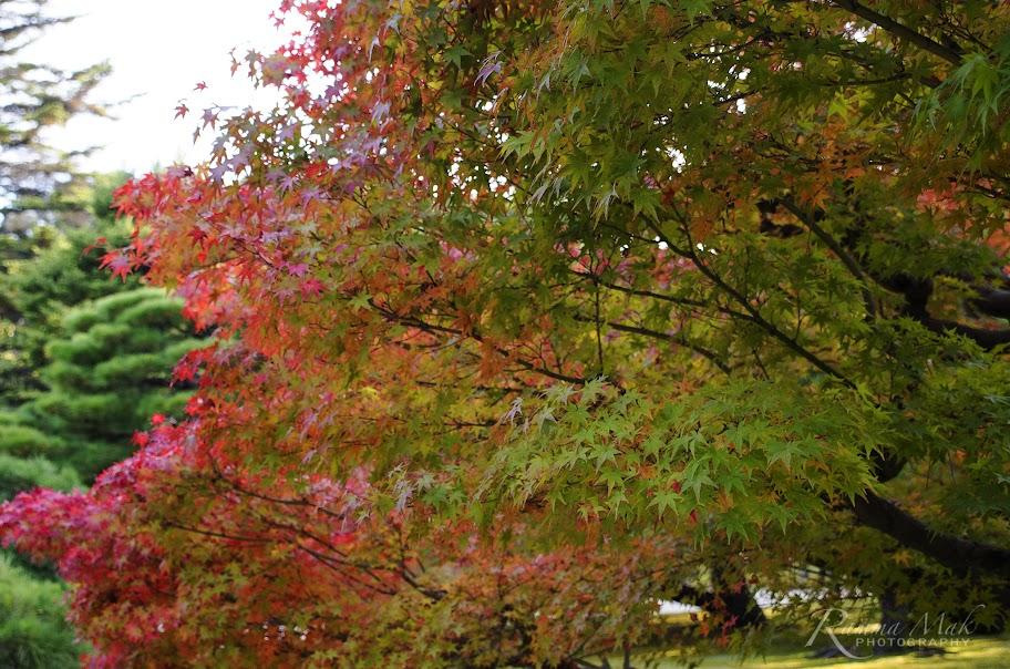偶爾的楓樹