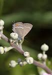 Vrietornsommerfugl, spini3.jpg