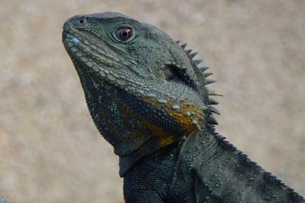 lizard by kex