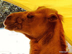 Kamel Portrait