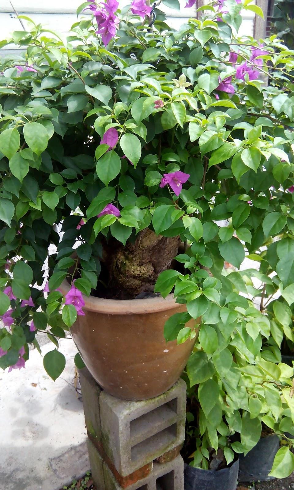 Hasil Observasi Tanaman Bunga Kertas Informasi Seputar Tanaman Hias