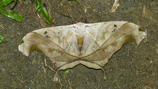 Saturnidae : Arsenurinae : Dysdaemonia boreas (Cramer, [1775]), mâle. Trois km à l'est de Caranavi (Yungas, Bolivie), 19 décembre 2014. Photo : Jan-Flindt Christensen