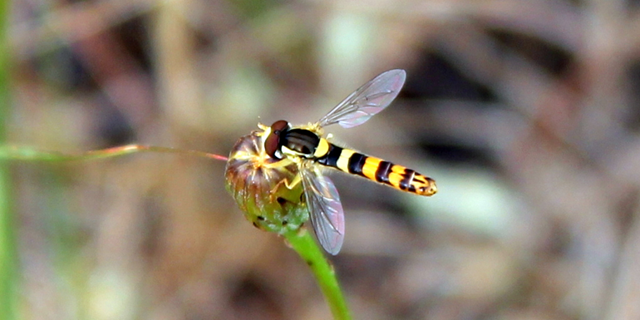 A hoverfly displaying yellow and black striping to deter predators. Photo: Chris Hassall